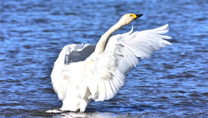 シベリウス「トゥオネラの白鳥」